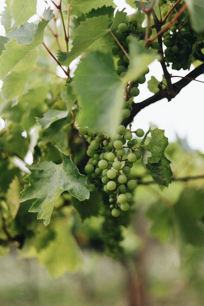 Vinea se spojila s vybranými vinaři. Společně připomínají tradici hroznového moštu v Československu
